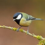 Great Tit - Malvern - 2012