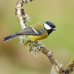 Great Tit - Forest of Dean - 2011