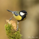 Great Tit - Alcester - 2012
