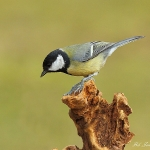 Great Tit - Brocton - 2012