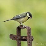 Great Tit - Gilfach Farm NR - 2012
