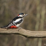 Great Spotted Woodpecker - Bourne - 2018
