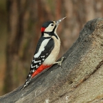 Great Spotted Woodpecker - Alcester - 2011