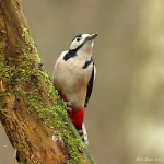 Great Spotted Woodpecker - Malvern - 2012