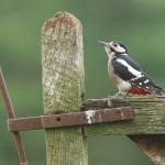 Great Spotted Woodpecker - Bucks - 2015