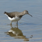 Green Sandpiper - Slimbridge - 2015