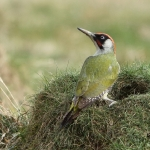 Green Woodpecker - Bourne - 2018