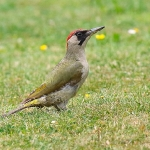 Green Woodpecker - Malvern - 2016