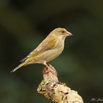 Greenfinch - 2013