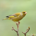 Greenfinch - Fladbury - 2012