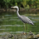 Grey Heron - Swindon - 2012