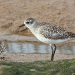 Grey Plover - Titchwell NR - 2017