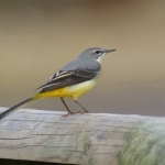 Grey Wagtail - Slimbridge - 2017