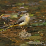 Grey Wagtail - Stroud - 2011