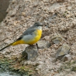 Grey Wagtail - Slimbridge WWT - 2019