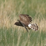 Hen Harrier - Mull - 2016