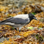 Hooded Crow - Skye - 2018