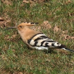 Hoopoe - Romsley - 2016