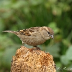 House Sparrow - Fladbury - 2012