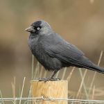 Jackdaw - Slimbridge WT - 2014