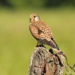 Kestrel - York - 2013