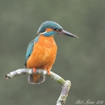 Kingfisher - 2012