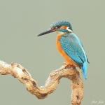 Kingfisher - 2014