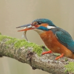 Kingfisher - Droitwich - 2016