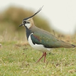 Lapwing - Cley NR - 2011