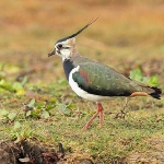 Lapwing - Cley NR - 2014