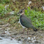 Lapwing - Slimbridge - 2015