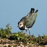 Lapwing - Slimbridge - 2016