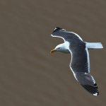 Lesser Black-backed Gull - Bristol - 2019