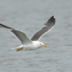 Lesser Black Backed Gull - Slimbridge WWT - 2020