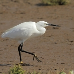 Little Egret - Titchwell NR - 2013