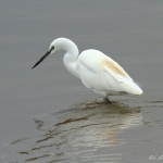 Little Egret - Titchwell NR  - 2012