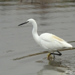 Little Egret -Titchwell NR - 2012