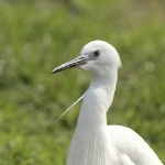 Little Egret - Norfolk - 2011