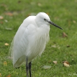Little Egret - Norfolk - 2012
