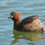 Little Grebe - Slimbridge - 2017