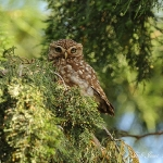 Little Owl - Malvern - 2012