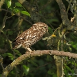 Little Owl - Bittell - 2010