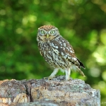 Little Owl - York - 2013