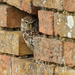 Little Owl - Glos - 2012