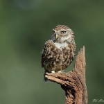 Little Owl - Bucks - 2015