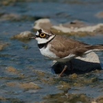 Little Ringed Plover - Slimbridge WWT - 2019