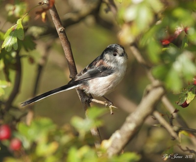 Long Tailed Tit - Holme NR - 2013