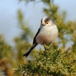 Long Tailed Tit - Brocton - 2013