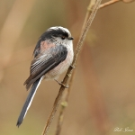 Long Tailed Tit - Upton Warren NR - 2013