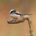 Long Tailed Tit - Brocton - 2012